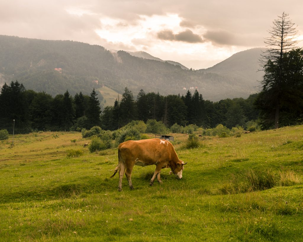 A cow grazes in the mountains at Predeal, Romania